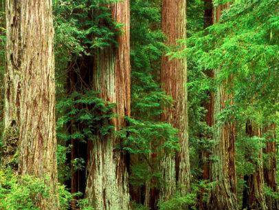 кедровые леса